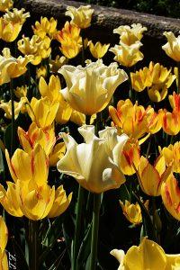 Tulpenfeld in Italien am gardasee