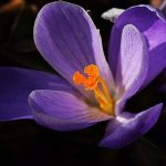Krokos zum Frühling