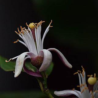 Der Geruch von Zitronenblüten ist betörend....😁😍 #zitrone #lemon #flowerstagram #blüten #garten #garden #naturliebe #naturephotography #macrophotography #macro_secrets #macro #nahaufnahme #macrosecrets #instanaturefriends_ #insta #instaflower #outside #naturbild #natur #nature