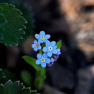 Ganz einfache #vergissmeinnicht haben sich dieses Jahr im meinem Garten sehr wohlgefühlt 😍❤🍀 #garten #garden #flowerstalking #flowers #naturliebe #naturephotography #macrosecrets #macro #naturbild #naturbilder #natura #outdoor #blue #blau #bloom #nahaufnahme #moments #moment #momentaufnahme #herzen #sehen #gartenliebe#mengerskirchen