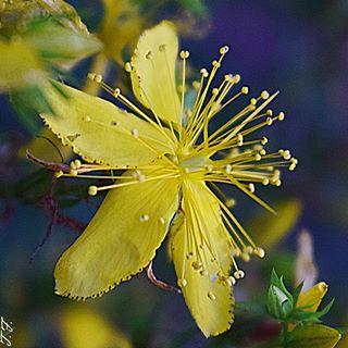 In meinem Garten wachsen einige Kräuter. Zur Zeit blüht Johanniskraut sehr schön und ich überlege, ob ich mir einen tollen Tee zubereite. #johanniskraut #kräutergarten #garten #garden #meingarten #heilkräuter #natur #natura #medizin #heilkunde #seele #kraft #heilmittel #naturephotography #insta #instagramers #instagood #flowers #plants #pflanzen #outdoor #mygarden #macrophotography #nahaufnahme #macro_freaks #macro_delight #macroshot #nikon #d3300