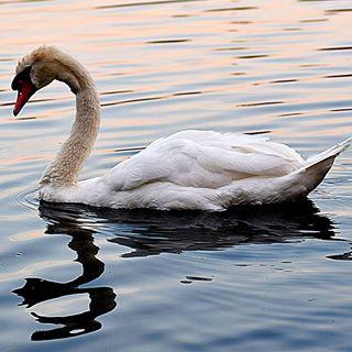 Ein einsamer Schwan mitten auf dem See #schwan #einsam #alone #see #sea #white #water #wasser #outdoor #outside #walking #walk #spaziergang #nature #insta #instagramers #instagood #fiftyshades_of_nature #naturshot #animal #natur #naturbild