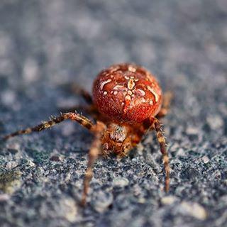 Der Tod lauert echt überall😌😎. Da geht man ahnungslos an der Tongrube spazieren und was huscht über die Straße? Eine rote Kreuzspinne! Ich bin echt sehr dankbar, dass ich noch am Leben bin!😎😎😌 #kreuzspinne #spider #macro #nahaufnahme #insta #instamacro #highlight #nature #natur #mengerskirchen #fiftyshadesofmacro #macro_drama #macrophotography #outdoor #nikon #naturbilder #my #naturbild