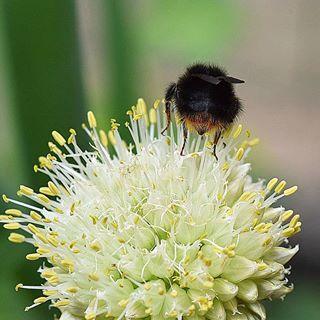 Ein schöner Hummel Popo 😂😂😁 #hummel #natur #naturphotography #naturbild #_lookatme_macro #macro #macros #nikon #nature #insta #instagood #outdoor #nahaufnahme #naturelovers #naturliebe #garden #garten #meingarten #frischeluft #love #meins #naturshot #macro_kings