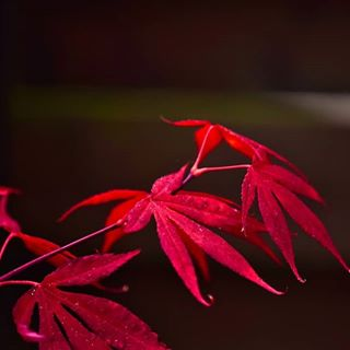 Diese Farbe.....unglaublich!🍀 #ahorn #leaves #naturbild #naturephotography #garten #garden #rot #natur #nature #outdoors #outside#macrofotografia #macro_delight #macroshot #nahaufnahme #insta #instagram #instago #blätter #instanature #niceday #nice #schön