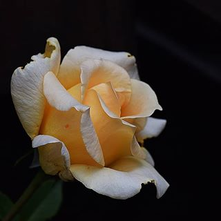 """Ich glaube meine Rosen haben noch nie etwas vom """"Winter"""" gehört 😌 Jetzt habe ich aktuell 3 Knospen und diese Blüte entdeckt 🍀🍀🍀 Liegt wahrscheinlich daran, dass diese Schönheit im Keller überwintern soll🌠🌠 #rose #roses #wintertime #winter #macrofotografia #macrofoto #macro_delight #macro_secrets #insta #instagram #instago #nahaufnahme #macro #nikon #myrose #outdoor #gelb #yellow #perfekt"""