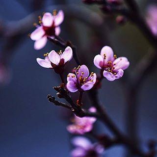 Diese kleinen zarten Blüten derJapanischen Kirsche haben mich total fasziniert 😍 Der Frühling kommt mit großen Schritten 🙌 Ich wünsche euch einen schönen Sonntag, habt's fein👈👑 #macrofotografia #nahaufnahme#macro_mania__ #macrofotografia #nicepic #insta #instago #instagood #instagrammers #naturbild #nature #natur #natura #outdoor #outside #nice #garten #garden #blumen #fever_trees #fever_natura #blütenzauber #sonntag