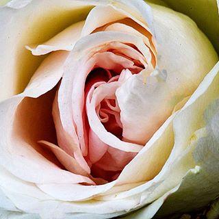 Man muss nicht immer viel Text schreiben. Manchmal sagt ein Bild mehr wie 1000 Worte🙏 #nahaufnahme #macrofotografia #macro #macrofoto #insta #instagram #instago #roses #rose #garden #garten #königin #outdoor #outside #nicepic #naturbild #natur #nature #natura #foto #macro_delight