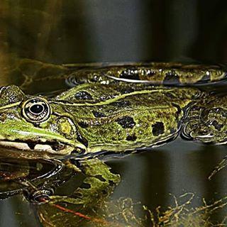 Ich finde es total spannend, wie unterschiedlich Frösche sein können!❤🍀 #frog #frosch #frösche #naturephotography #naturbild #naturshot #natur #instago #instago #instamacro #instagram #highlife #outdoor #outside #instanature #nikon #nikond3300 #water #wasser #naturlover #bild #shot