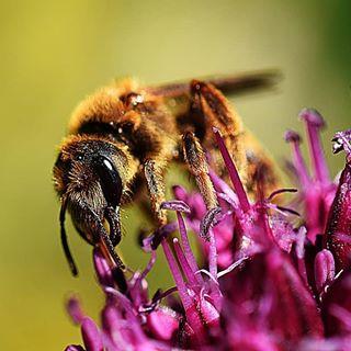 Überall im Garten kann man zur Zeit fleißige Bienen sehen!❤❤🍀 #bienen #biene #macrofotografia #macrophotography #macro #nahaufnahme #naturbild #naturfotografie #naturephotography #instago #instamacro #instainsect #outdoor #garten #garden #gartenliebe