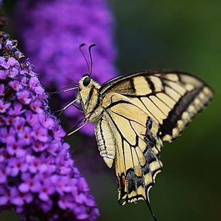 Unglaublich, was sich alles auf den Blüten vom Schmetterlingsflieder tummelt😍 #garden #garten #schmetterlingsflieder #nature #nature #outdoor #outside #insta #instagram #instagood #butterfly #schmetterling #nikon #summer #sommer