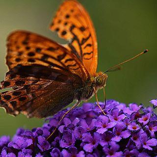 Manche Schmetterlinge sehen wirklich etwas zerzaust aus 😌😎 #schmetterling #butterfly #nikon #insta #instagram #instago #garden #garten #fiftyshades_of_nature #natur #naturephotography #nahaufnahme #macrophotography #macros #macroshot #natura #schmetterlingsflieder #nature_perfection #wonderful #wundervoll #dankbar #dankbarkeit #freude #danke