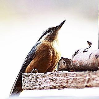 Besuch von einem Kleiber am Futterhaus🤩🥰 Ist er nicht wunderschön? #kleiber #vogel #nature #naturephotography #outside #outdoor #instagood #insta #fiftyshades_of_nature #natura #nice #wunderschön #instanature #winter #futterhaus #vogelhaus #hungry #vogelfotografie