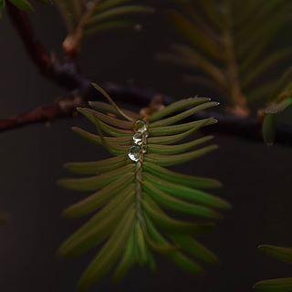 Habt eine entspannte Woche und lasst es euch gut gehen🍀🤗 #water #drops #regentropfen #nature #naturephotography #naturliebe #outdoor #macro #nahaufnahme #macro_brilliance #macro_love #nikon #mein #naturbilder #mengerskirchen #foto #photo #insta #instagood #instagram #fiftyshades_of_nature #mammutbaum #forrest