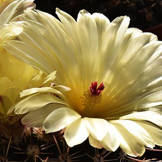 Kakteen Blüten mal ganz nah an der Linse 😍 #kaktus #kakteen #cactus #macroclique #macrophotography #macro #macro_perfection #nahaufnahme #nah #instagram #insta #allendorf #greifenstein #instagood #mypic #nikonphotography #nikonphotography #instapic #fiftyshades_of_nature #cactuslover #cactus🌵