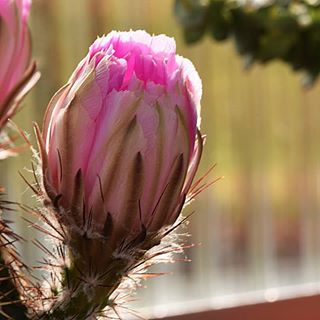 Kakteen mit Blüten finde ich ganz zauberhaft😍 Habt eine entspannte Woche und bleibt gesund 🤗 #cactus #kaktus #kakteen #instagood #instagram #insta #nahaufnahme #macrophotography #macro #macrophoto #blüten #zauberhaft #nice #niceone #instalike